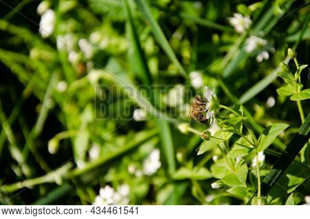 Bee Collects Nectar From White Flower In Green Grass. Natural Background With Insect On Green Lawn.