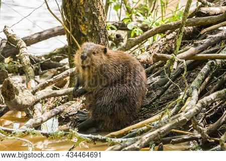 A Beaver Sitting Looking Sleepy After Hard Work Building The Den Resting On The Outside Of The Branc