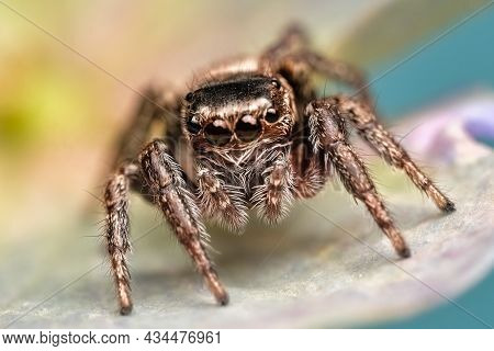 Close-up Of A Beautiful Spider, Super Macro Image Of A Jumping Spider (salticidae) On A Brine Leaf,