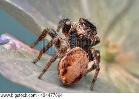 Close-up Of A Beautiful Spider, A Super Macro Image Of A Jumping Spider (salticidae) On A Spider Lea