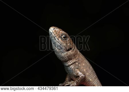 Common European Wall Lizard (lacerta Agilis) Reptile With Brown, Black And Yellow Scales. Portrait O