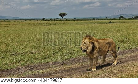 An Adult Wild Lion Stands On A Dirt Road In The African Savanna. Lush Mane.. The Mouth Is Open. Gree
