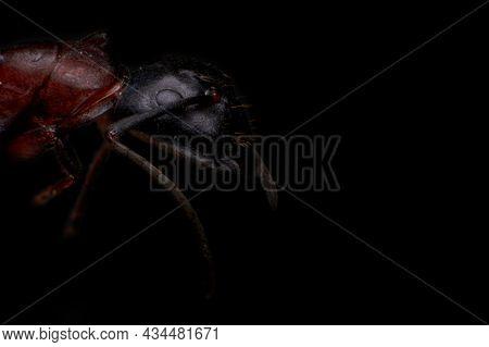 Ant Close-up, Ultra-macro Portrait On A Black Background, Soft Focus, Selective Focus.