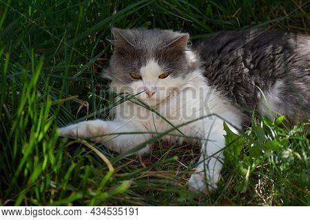 Cheerful Cat Lying Between Flowers In Spring. Portrait Of Happy Young Cat In Garden