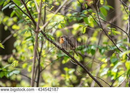 European Robin, Erithacus Rubecula, Song Bird Sits On Tree In The Spring Forest Or Park. Beautiful S