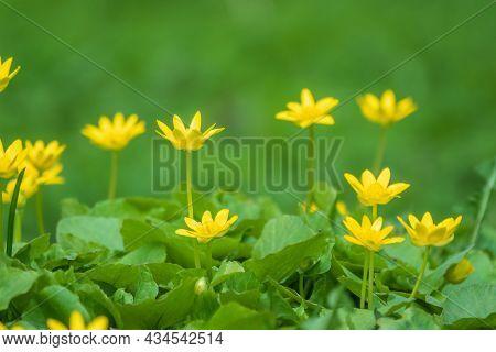 Spring Yellow Flowers - Anemone Ranunculoides, The Yellow Anemone, Yellow Wood Anemone Or Buttercup