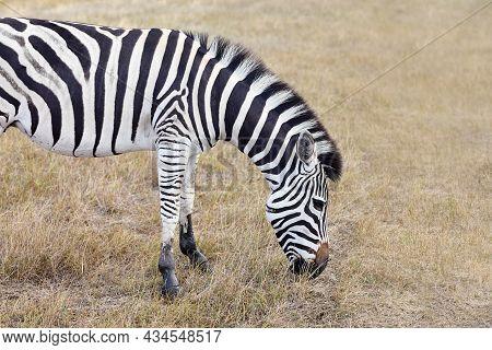 Zebra Grazing In Grasslands Of Virgin Steppes