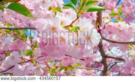 Beautiful Pink Sakura Flower On A Tree Branch, Blooming Sakura, Cherry Blossom. Spring Cherry Blosso