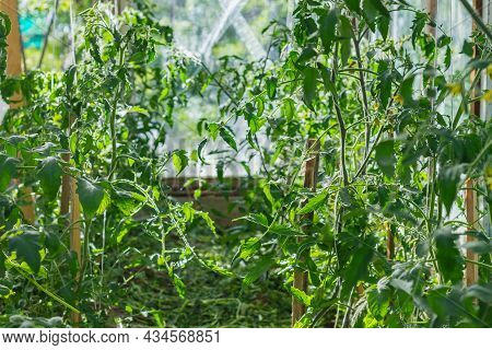 The Soil In The Greenhouse Is Covered With A Mulch Of Cut Plants And Grass To Preserve Moisture In T