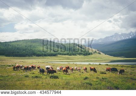 Dramatic Alpine Landscape With Herd Of Cows In Meadow Near Mountain Lake In Sunlight Against Big Sno