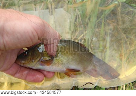 Big Tench Lying On Human Hand. Caught Tenches In Basin. Successful Fishing. Caught Fish. Fish Tench