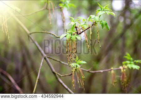 Inflorescences Of Ash-leaved Maple  Spring Time (box Elder, Boxelder Maple, Manitoba Maple, Acer Neg