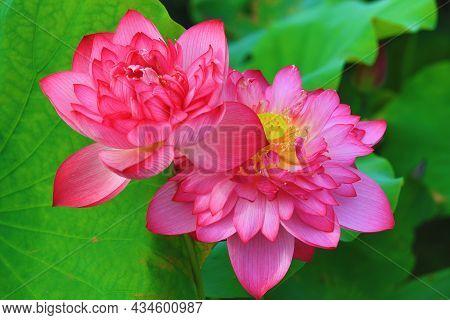 Peony Lotus Flowers Close-up,beautiful Pink Peony Lotus Flowers Blooming In The Pond