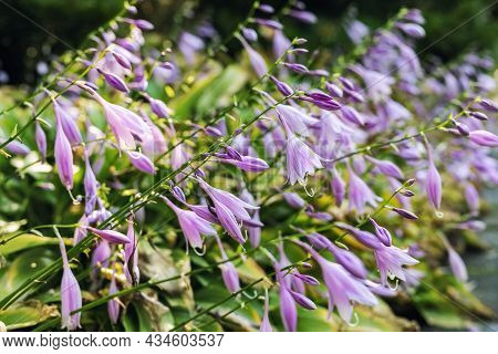 Beautiful Fresh Lilac Hosta Or Palntain Lily Flowers Growing On Flowerbed In Ornamental Graden On Sp