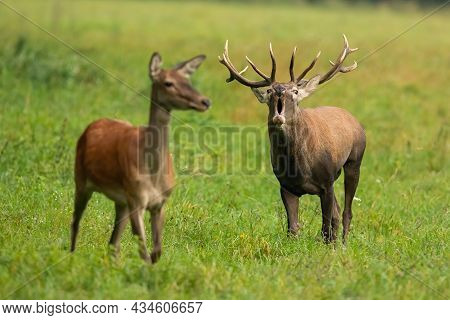 Red Deer Male With Female Bellowing On Grassland In Autumn