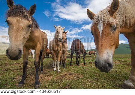 Portrait Of Funny Horses In The Pian Grande Near Castelluccio Di Norcia Mountain Village, Umbria, It