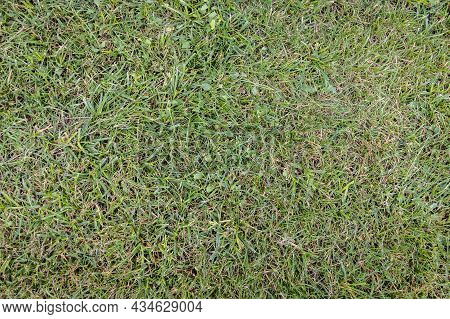 Green Grass Texture For Background. Green Lawn. Sample. Close-up.