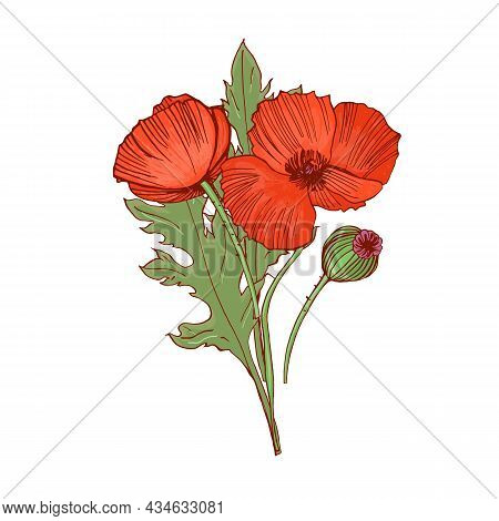 Blossomed And Unblown Poppy Buds. Red Flowers With Leaves And Stems Drawn In Retro Style. Blooming R