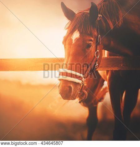 A Bay Horse With A Halter On Its Muzzle, Standing In A Paddock On A Farm, Is Illuminated By The Brig