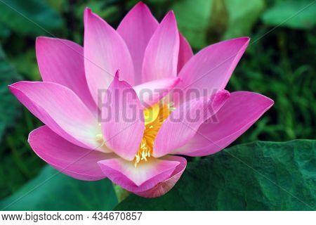 Blooming Pink Lotus Flower Or Nelumbo Nucifera In The Pond. It Known As Indian Lotus, Sacred Lotus I