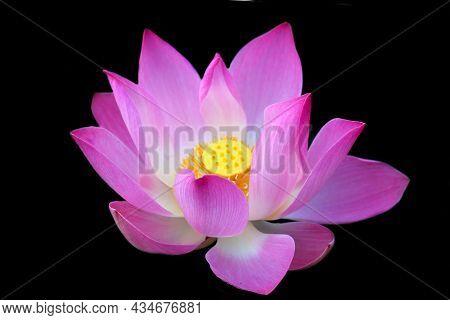 Pink Lotus Flower Blossom On Black Background. Blooming Beautiful Nelumbo Nucifera Isolated On Dark