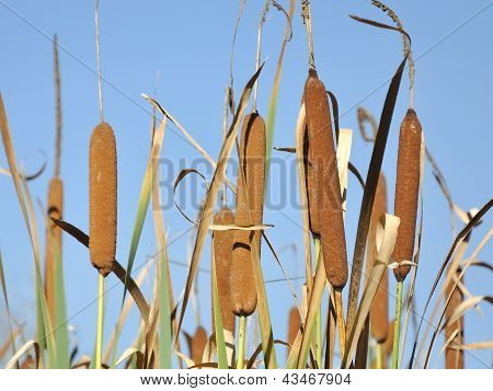 Typha Latifolia - Cattail And Clear Blue Sky