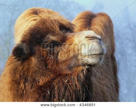 Two Hump Camel