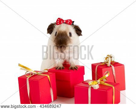 Amusing Guinea Pig With Holiday Gifts Isolated On A White Background