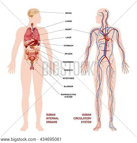 Internal Human Organs Circulatory System Scheme Concept Pointers For Clarity With Description Of Whe