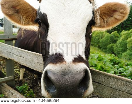Beautiful Curious Brown And White Cow Looks Into Camera On Background Of Village Yard, Green Grass A
