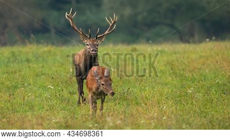 Rutting Red Deer Stag Sniffing For A Scents Of A Hing In Heat.
