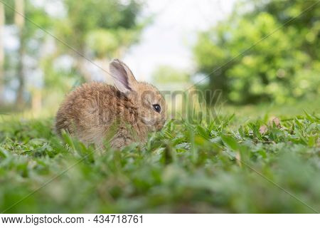 A Cute Baby Rabbit Was Running And Biting The Grass In The Yard. Rabbits Are Small Animals That Peop