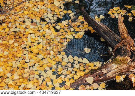 Autumn Yellow Leaves Float In Backwater Near Snag In Golden Sunshine. Yellow Autumn Leaves On Water