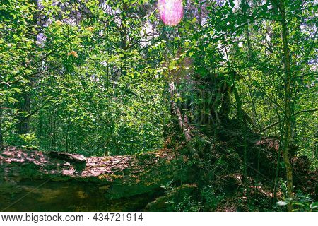 Fallen Old Big Tree In Dense Forest. Mystical Forest Background. Mystery Woodland Atmosphere. Deep I