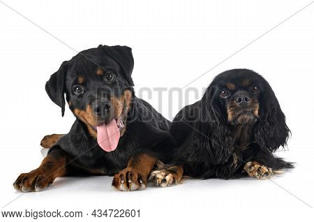Cavalier King Charles And Puppy Rottweiler In Front Of White Background
