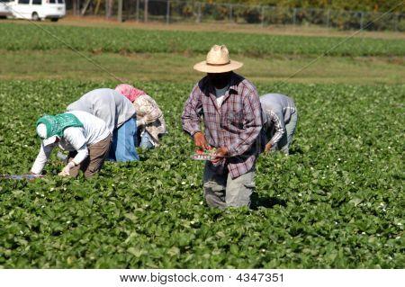 Strawberry Picker Workers