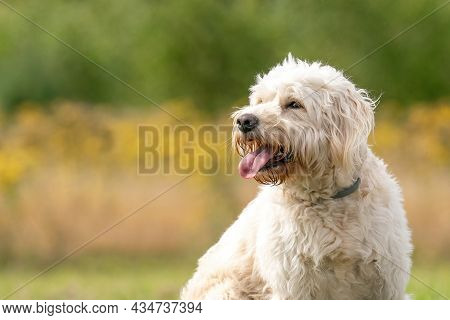 Labradoodle White Dog Head, Dog Sits On The Grass, Yellow Flowers And Reeds In The Background. The W