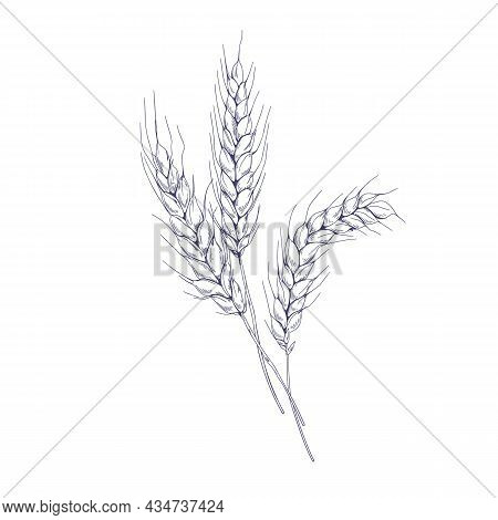 Outlined Sketch Of Wheat Spikelets With Ears, Grains, Stems And Spikes. Vintage Detailed Engraved Dr