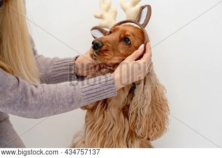 Woman putting festive rim with reindeer horns on English cocker spaniel dog at home