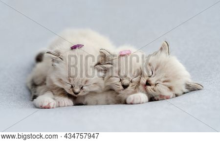 Three sweet little fluffy ragdoll kittens with flower decoration on their heads sleeping together on light blue fabric during newborn style photoshoot in studio. Cute napping kitty cats portrait