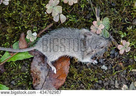 A Gray Mouse Among The Moss And Leaves. The Rodent's Fur Is Covered With Dewdrops