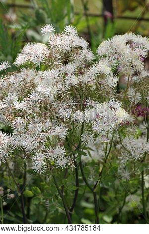 White Meadow Rue, Thalictrum Unknown Species, Flowers With A Blurred Background Of Leaves.