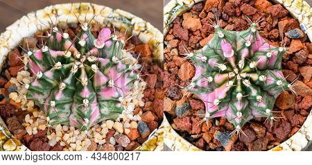 Pink Dimond Is A Name Of Gymnocalycium Mihanovichii Is A Type Of Cactus Or Succulents Tree That Is B