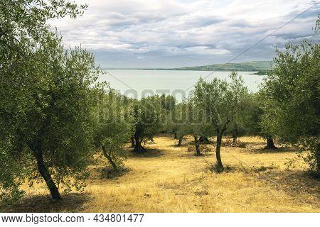 Olive Trees In The Isola Maggiore, Trasimeno Lake, Tuoro Sul Trasimeno, Umbria, Italy.