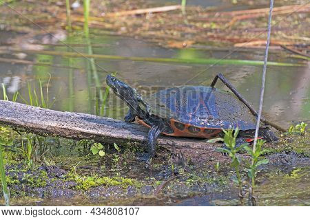 A Midland Painted Turtle Basking In The Spring In Cuyahoga Valley National Park In Ohio