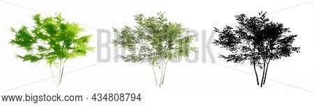 Set or collection of American Beech trees, painted, natural and as a black silhouette on white background. Concept or conceptual 3d illustration for nature, ecology and conservation, strength, beauty