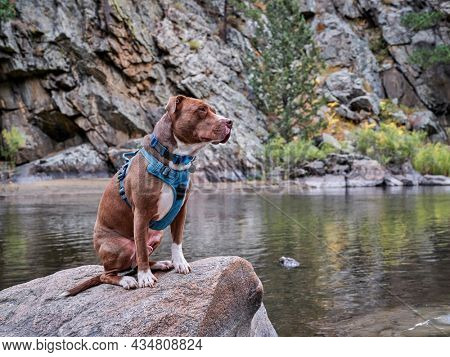pit bull terrier dog in no pull harness sitting on  a shore of mountain river