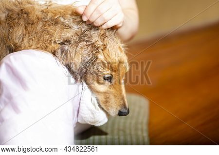 After A Shower, A Dog Plays With His Owner Or Relaxes. And Copy Space.