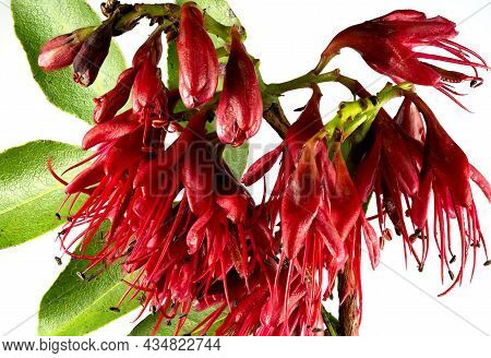 Deep Red Flower Of The Drunken Parrot Tree, Schotia Brachypetala, A Large Shrub Native Of Souther Af