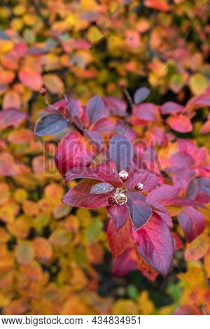 Saturated Bright Leaves Paradoxical Bloom Of Autumn Cotoneaster. Intense Purple Hue